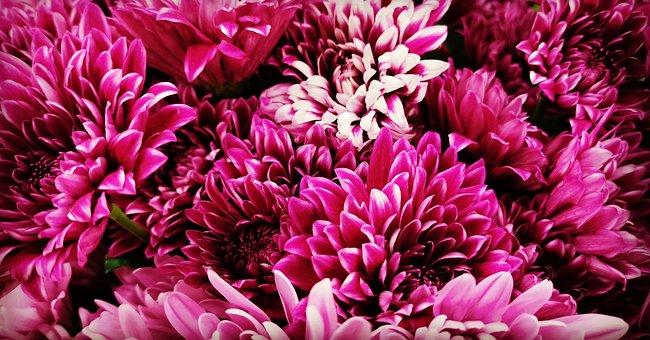 Flower, Plant, Petal, Purple, Dahlia, Pink