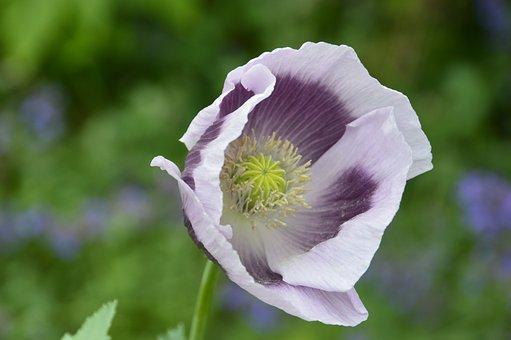 Flower, Purple, Bloom, Nature, Blossom, Garden, Plant