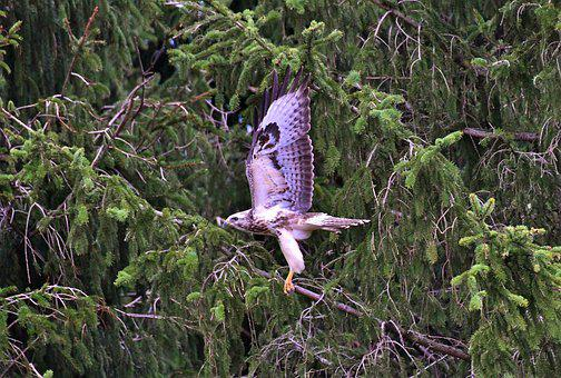 Bird Of Prey, Common Buzzard, Flying, Plumage, Hunter