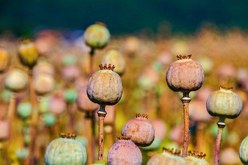 Poppy Capsules, Nature, Poppy, Summer, Mohngewaechs