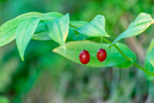 Wild Cherries, Red, Nature, Alpine, Mountains, Mountain