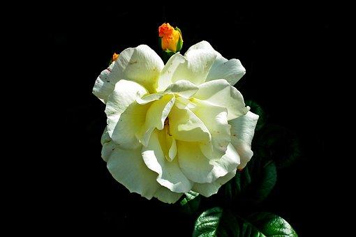 Rose, Light, Flower, Romantic, Beauty, Lighting, Garden