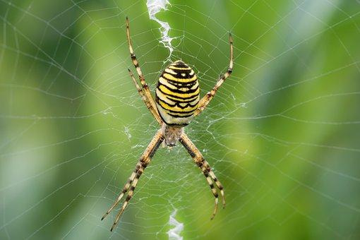 Wespenspin, Bug, Spider, Nature, Web, Spider-like