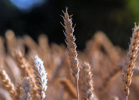 Spikes, Wheat, Agriculture, Nature, Plant, Cereals