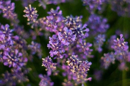 Lavender, Summer, Garden, Violet, Provence, Flowers