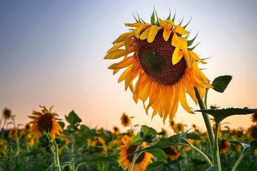 Sunflower, Nature, Flower, Summer, Blossom, Bloom
