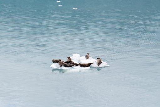 Sea Lion, Seal, Alaska, Glacier, Water, Ice, Landscape