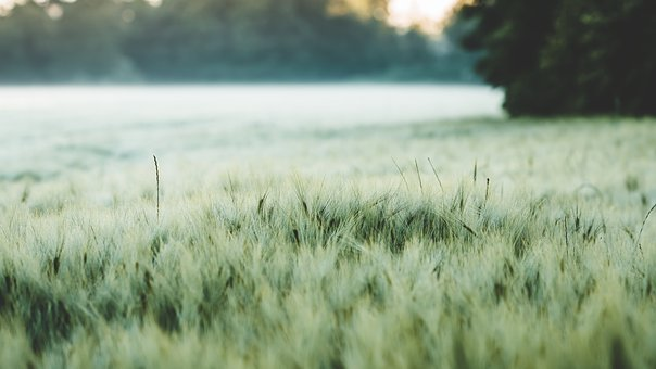 Barley, Field, Cereals, Cornfield, Agriculture, Grain