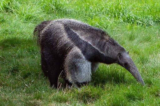 Giant Anteater, Ant Eater, Anteater, Ant Bear