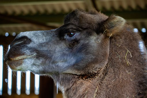 Bactrian Camel, Two Humped Camel, Asian Camel