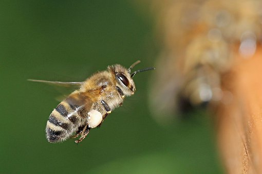 Bee, Beehive, Beekeeper, Insect, Beekeeping, Honey Bees