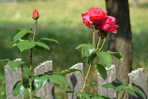 Rose, Flower, Blossom, Nature, Plant, Red, Summer