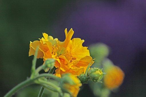 Avens, Garden, Blossom, Bloom, Yellow Flower, Plant