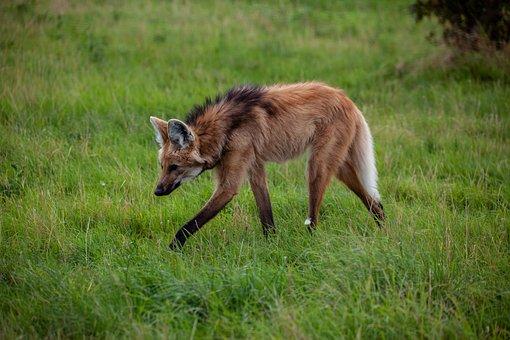 Maned Wolf, Grassland, Savanah, Argentina, Bolivia