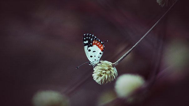 Kerala, India, Red Pierrot, Butterfly, Flower, Grass