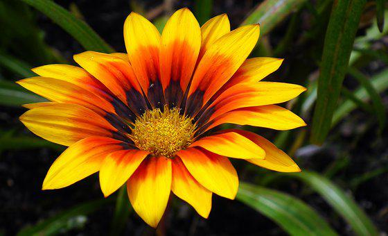 Gazania, Flower, Nature, Garden, Summer, Closeup