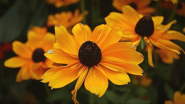 Coneflower Plant, Coneflower Flower, Echinacea