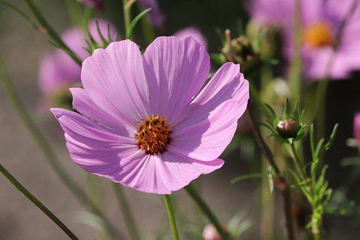Cosmea, Flower, Cosmos Bipinnatu, Cosmos