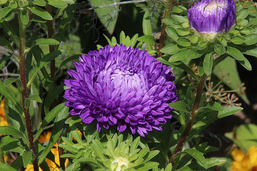 Dahlias, Violet, Blossomed, Flowers, Plants, Garden