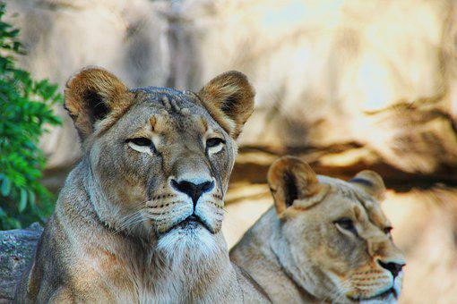 Lion, Face, Down, Wild, Cate, Zoo, Details, Background
