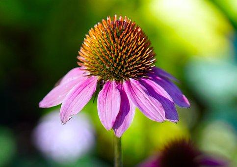 Echinacea, Blossom, Bloom, Flower, Coneflower, Nature