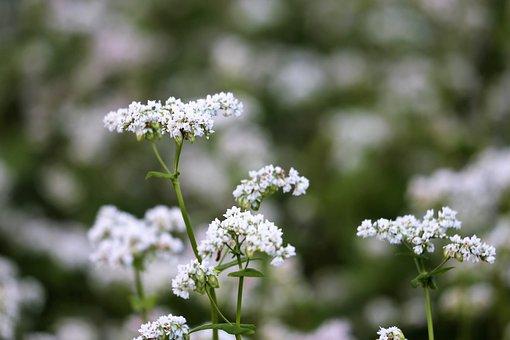 Buckwheat, Fagopyrum Esculentum, White Flowers