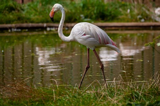 Greater Flamingo, Flaming, Waterbirds, Tall, Pink