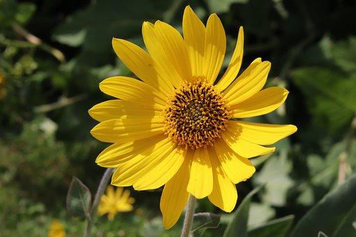 Flower, Yellow, Hélianthème, Plants, Garden, Gardening