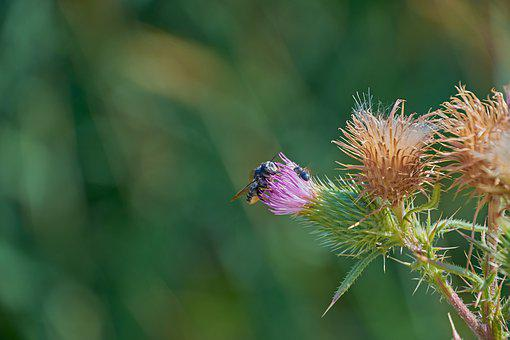 Flower Hawthorn, Insect, Thistle, Plant