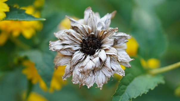 Coneflower, Faded, Withered, Flower, Dry