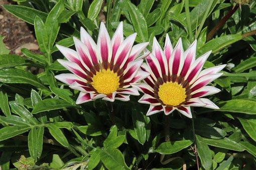 Gazania, Flowers, Plants, Garden, Gardening