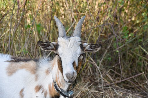 Goat, Goat With Horns, Herbivore, Nature, Cute, Bushman