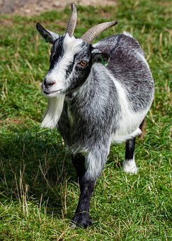 Goat, Standing, Horns, Grey, Livestock, Farm, Animal