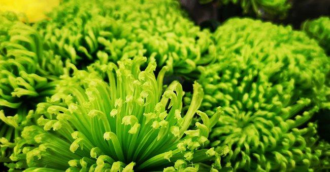 Green, Plant, Flower, Leaf, Grass, Nature, Broccoli