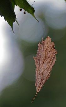 Leaf, Brown, Hanging, Thread, Spider, Leaves, Plants