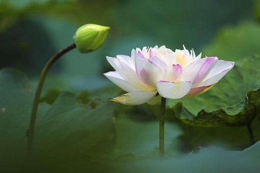 Hanoi, Lotus, Viet, Nam