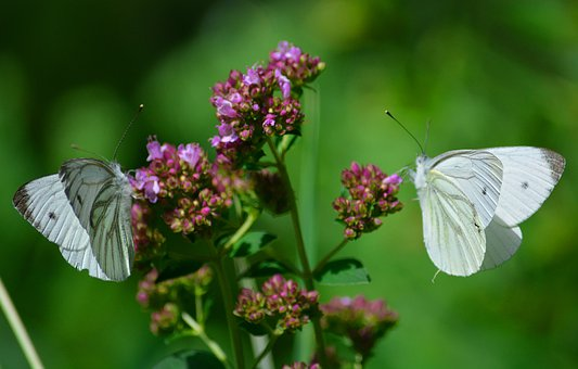 Butterfly, Flowers, Insect, Summer
