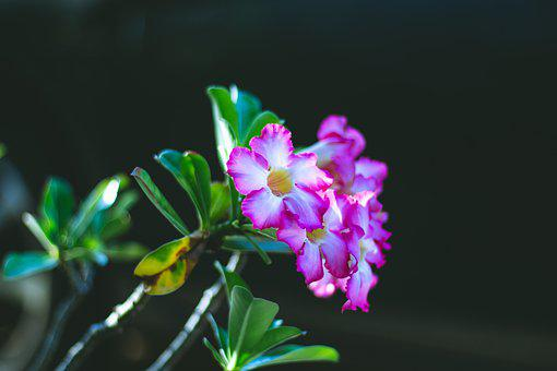 Invited To Visit, Plant, Thailand, Pink Flowers