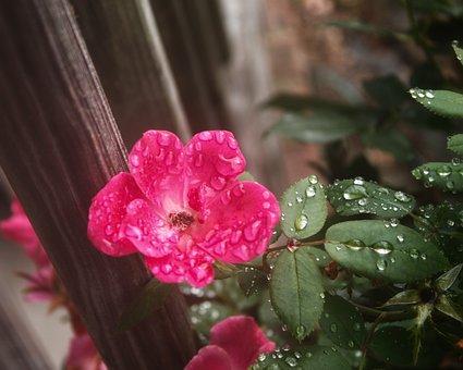 Rose, Flower, Nature, Bloom, Blossom, Pink, Love