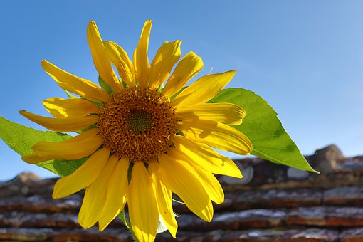 Sunflower, Bright Yellow, Light, Sunny, Morning, Plants