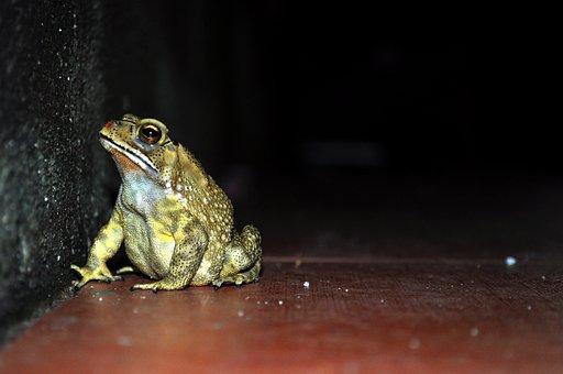 Frog, Night, Wildlife, Animal, Amphibian, Black, Nature