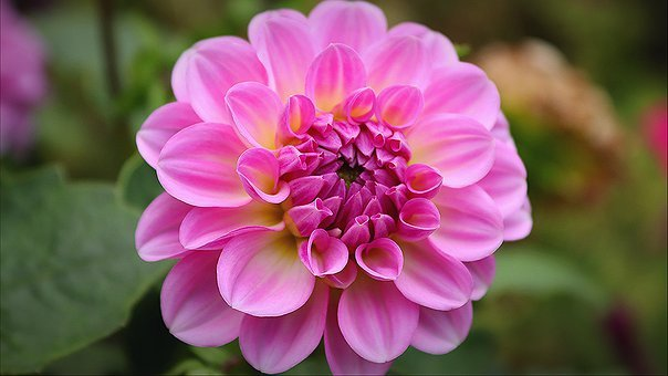 Dahlia, Pink Flower, Pink Blossom, Nature, Macro Flower