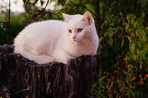 White Cat, Snow White, Pet, Noble, Beautiful, Bernstein
