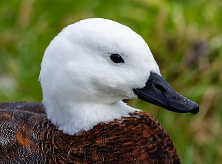 Paradise Shelduck, New Zeland Duck, White Head Duck