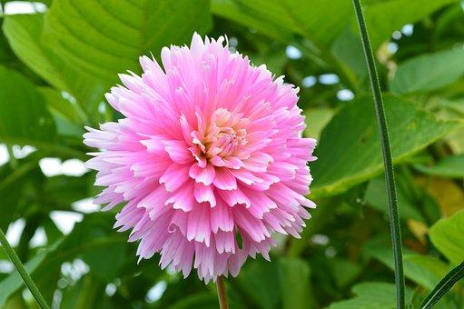 Flower, Blossom, Bloom, Plant, Pink, Garden