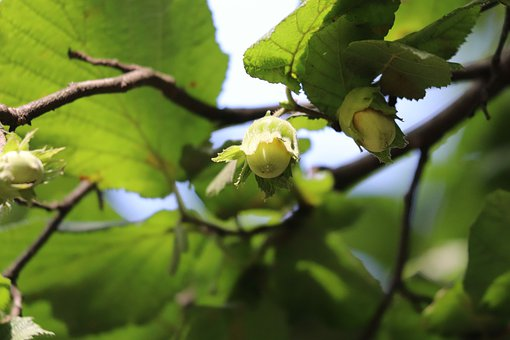 Hazelnut, Common Hazel, Plant, Corylus Avellana, Hazel