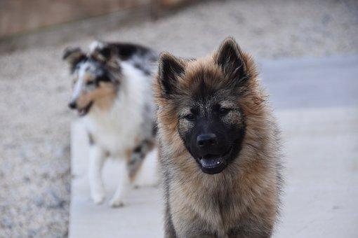 Dog, Dog Eurasier, Plinn-blue Eurasier, Doggie