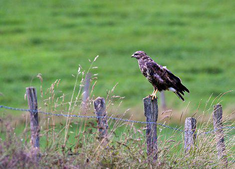 Common Buzzard, Bird Of Prey, Hunter, Plumage, Bird