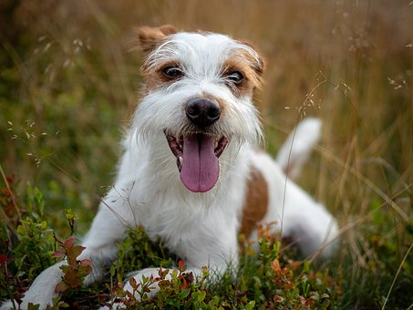 Dog, Kromfohrländer, Autumn, Nature, Rest, Dog Breed