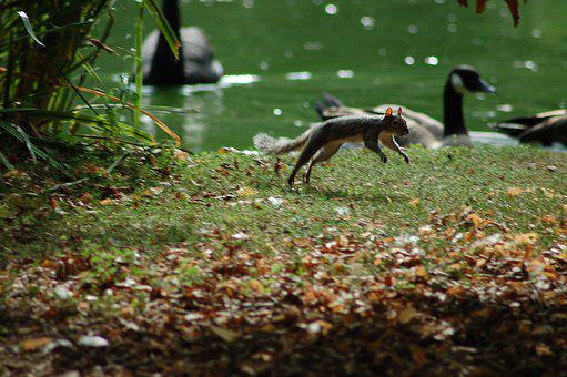 Squirrel, Jump, Rodent, Animal, Tail, Nature, Park